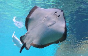 shark diving oahu sting ray